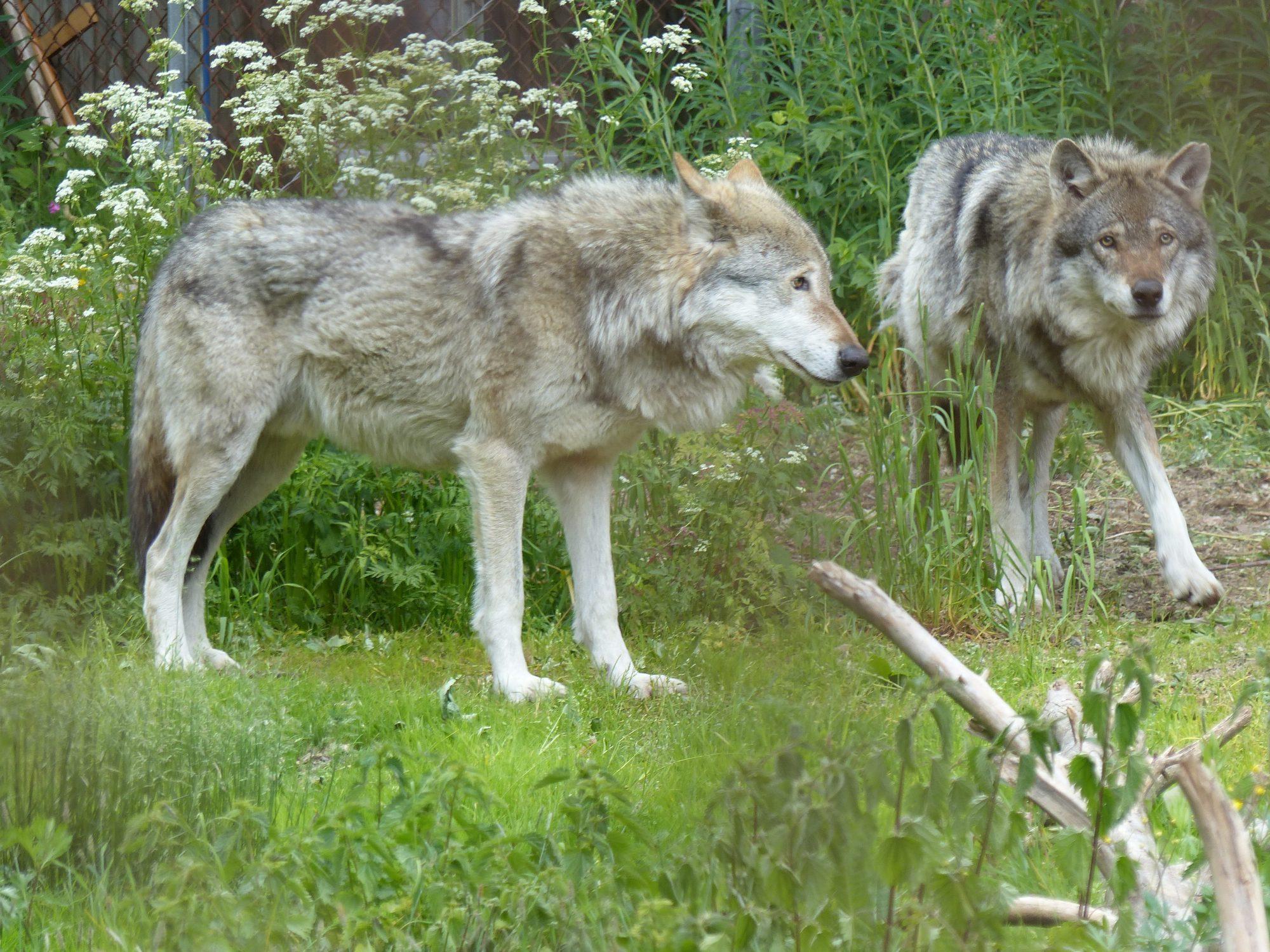 Två vargar.