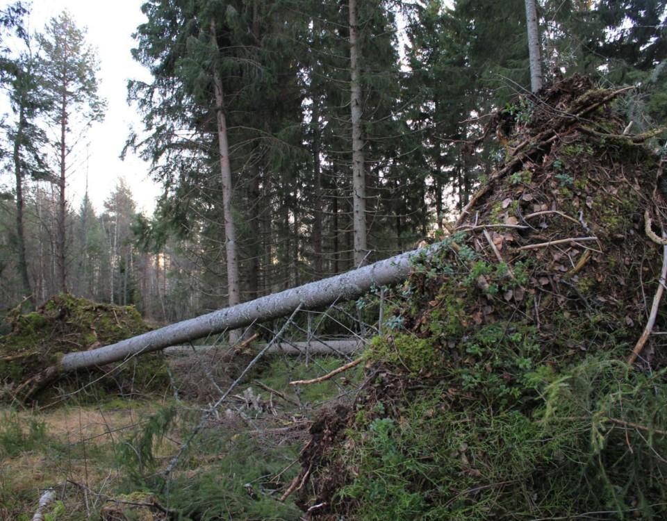 Träd som fallit.