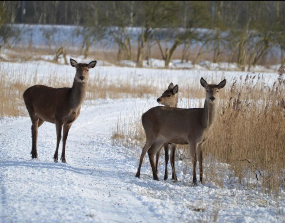 Hjortar i vintrig miljö
