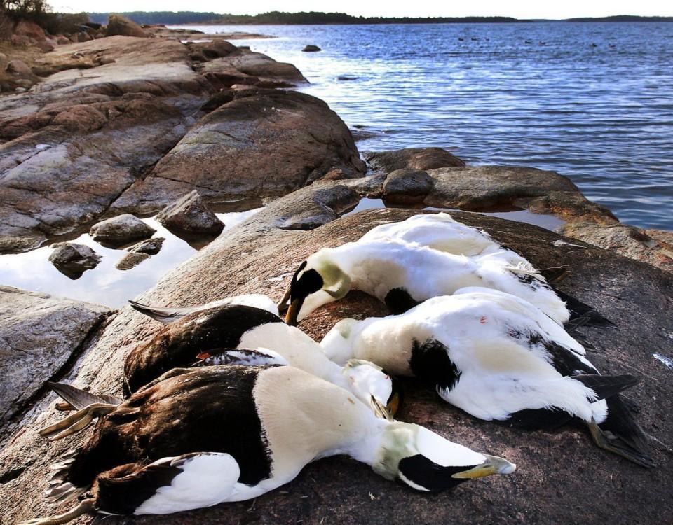 Döda fåglar på en klippa.