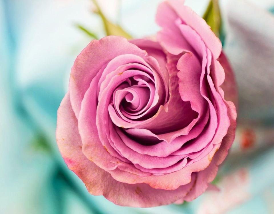 En ros i närbild.