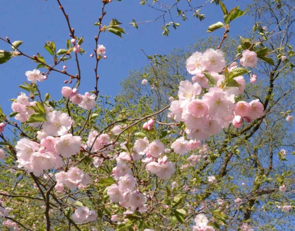 Körsbärsträd blommar.