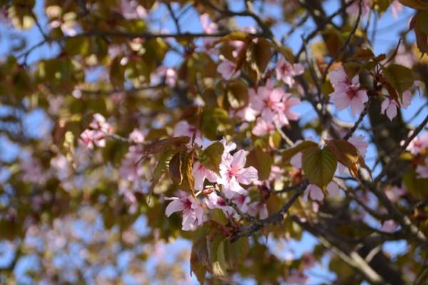 Många körsbärsblommor.