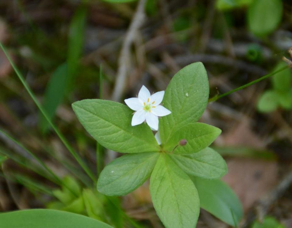Vit blomma med gröna blad.