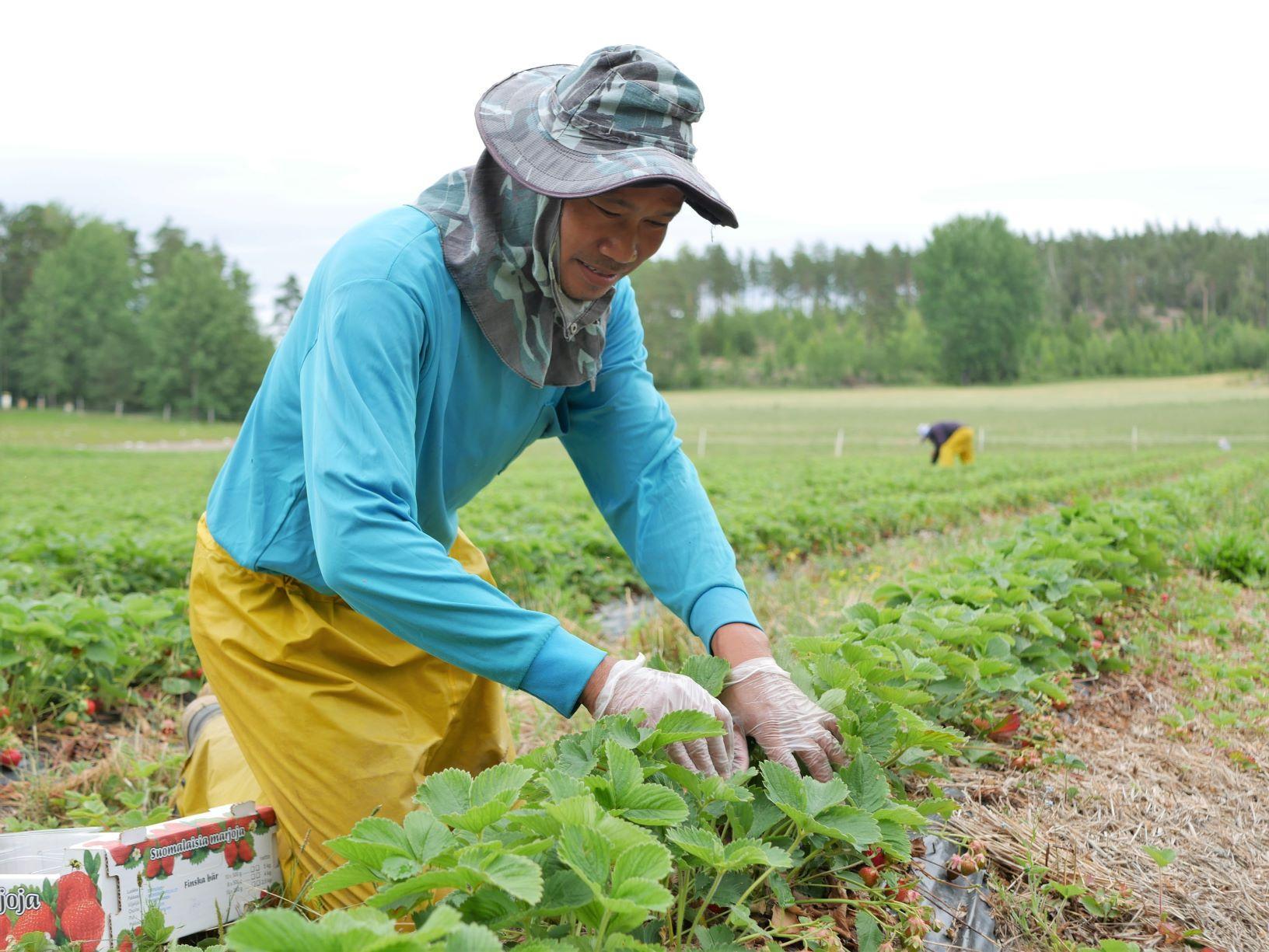 En person plockar jordgubbar