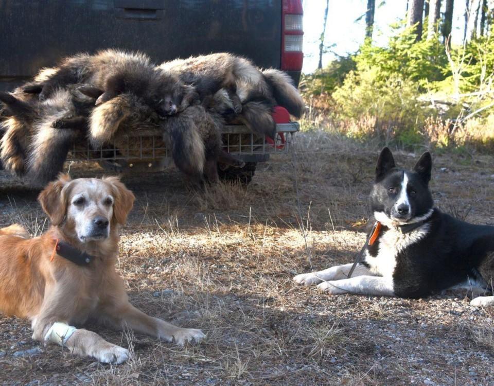 Döda mårdhundar på ett bilflak och två liggande hundar