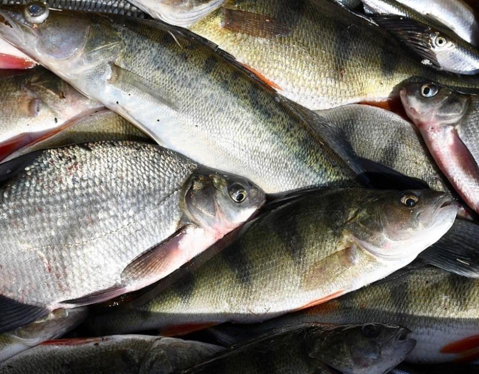 Den som fiskar längs kusten har säkert märkt att det finns gott om mört och braxen. Människan har gottat sig på gös, sik, torsk och lax samtidigt som Östersjön drabbats av övergödning. Mört och braxen trivs i näringsrikt vatten och frigör näringsämnen från bottnen.
