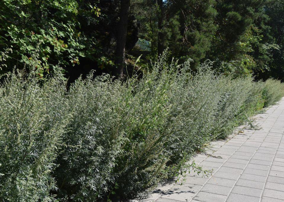 gråbo växter längs en gångbana