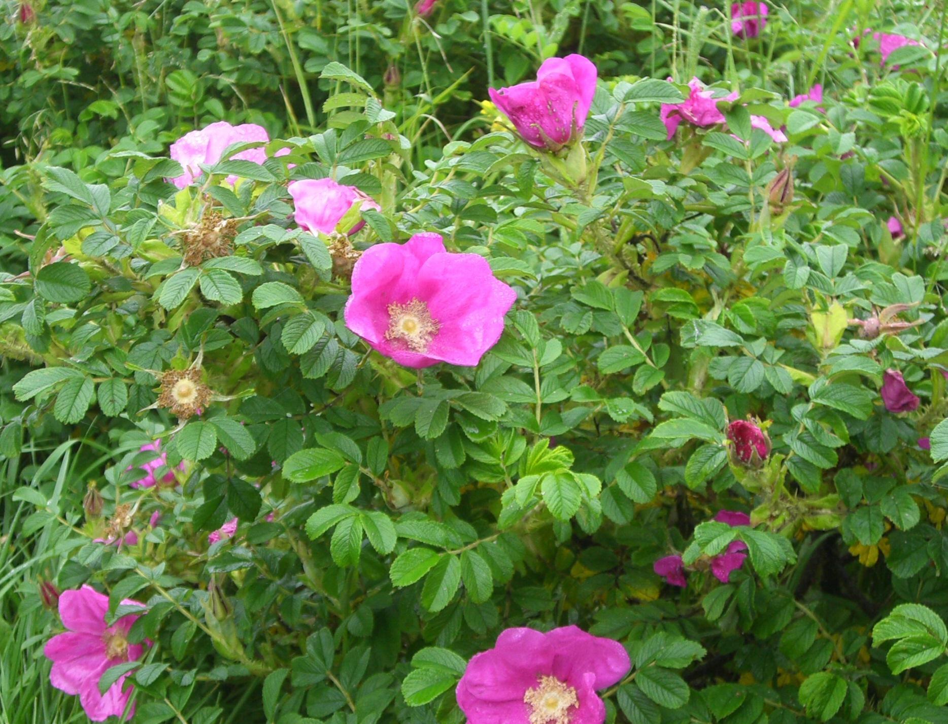 rosenbuske