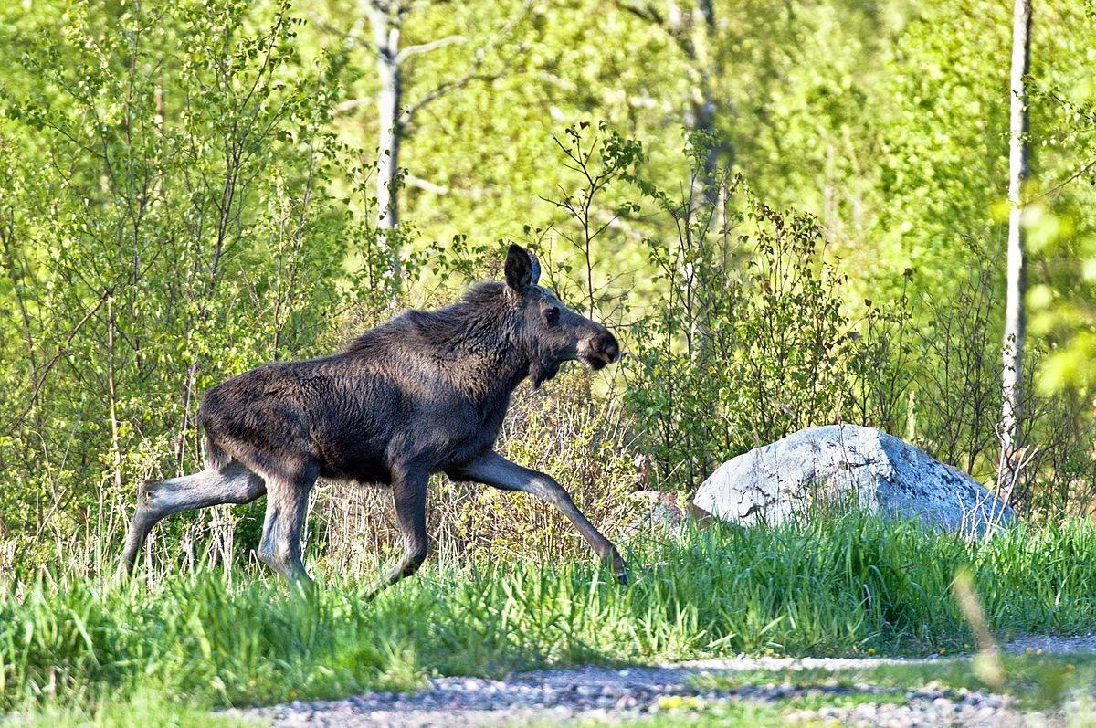 I framtiden får jägarna inte använda sig av blyhaltig ammunition i samband med till exempel älgjakten. Foto: Hangsna/Wikimedia Commons
