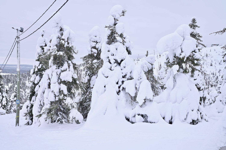 Snöiga granar.
