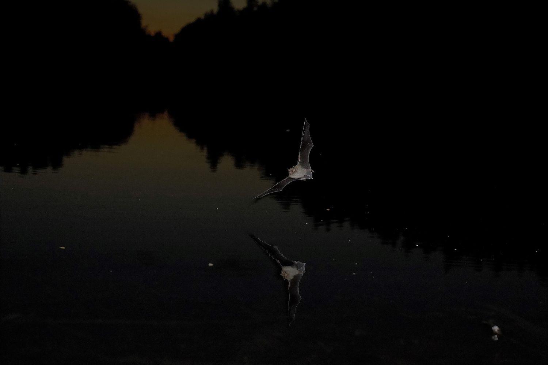 Fladdermöss en mörk kväll över vatten.