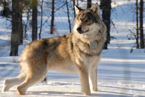 En varg i en snöig skog.