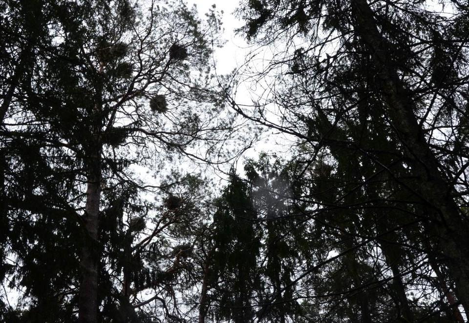 Fågelbon högt uppe i träden.