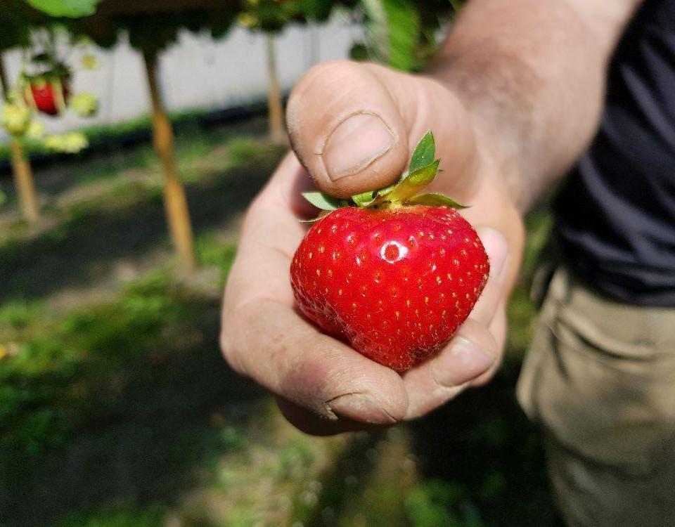 En stor jordgubbe i en hand