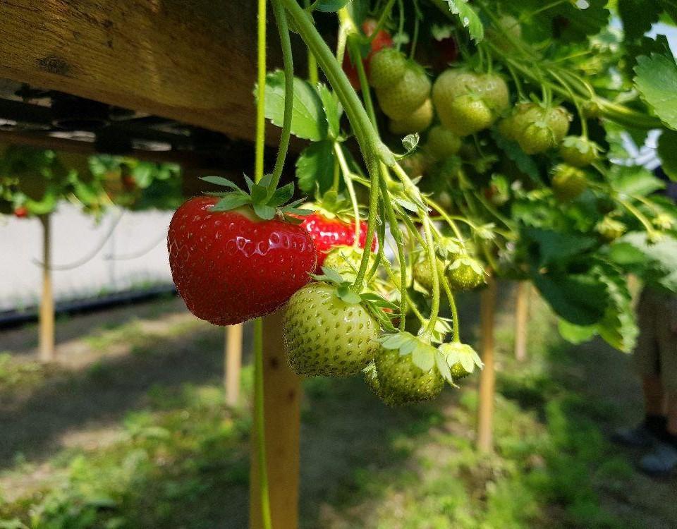 Röda jordgubbar och kart hänger från odlingslåda