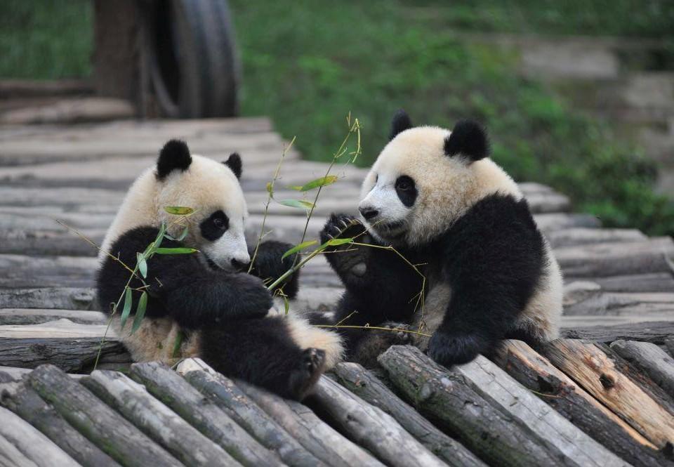 två pandor