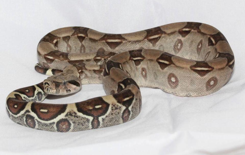 En orm.