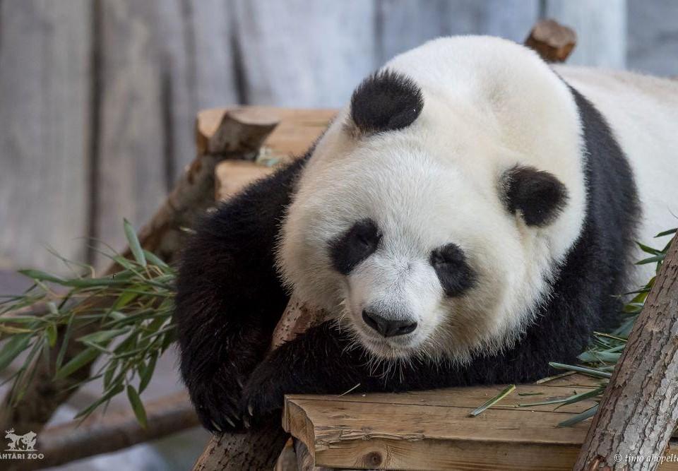 Panda vilar