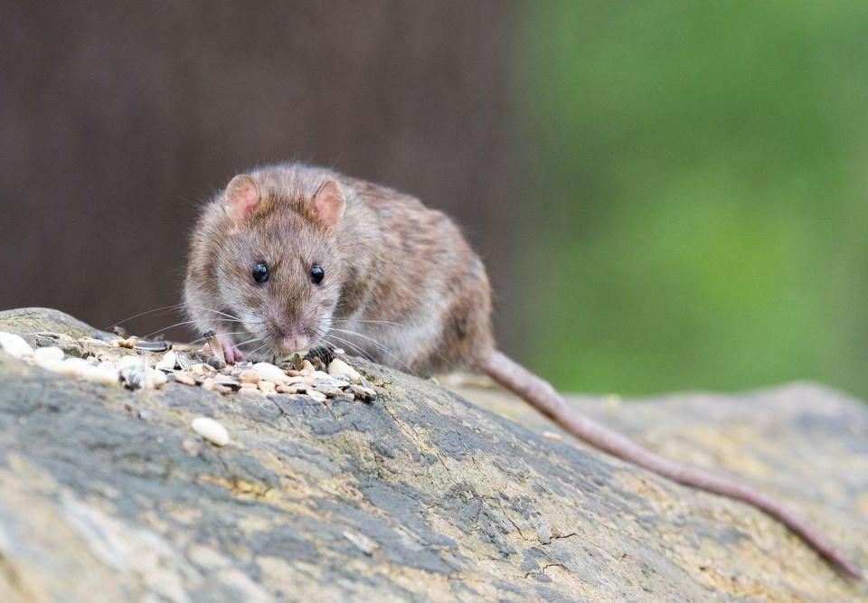 En råtta på en trädstam.