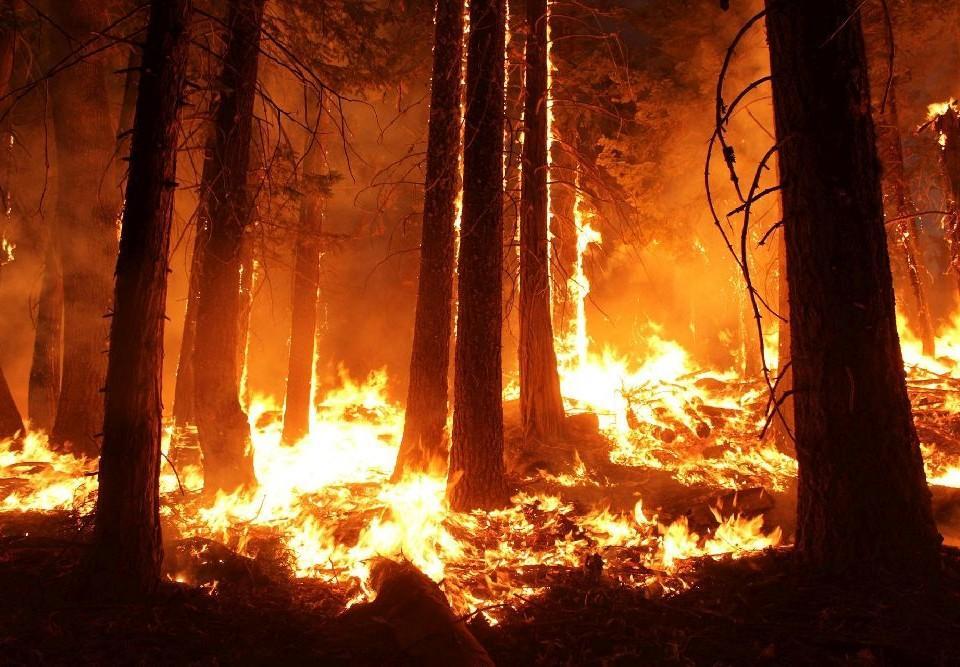 Skogsbrand. Trädstammar och eld.
