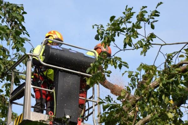 Två arborister högt upp i ett träd