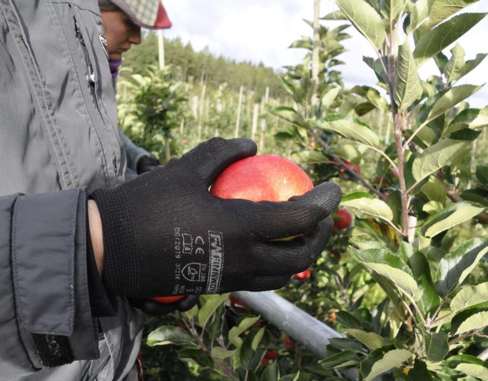 hand med handske håller i ett äpple vid ett äppelträd