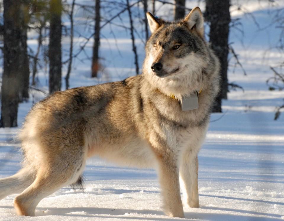 en varg i vintern.