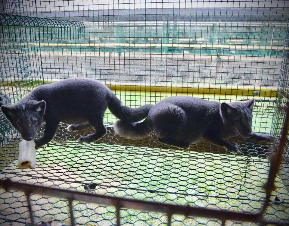 två rävar i bur