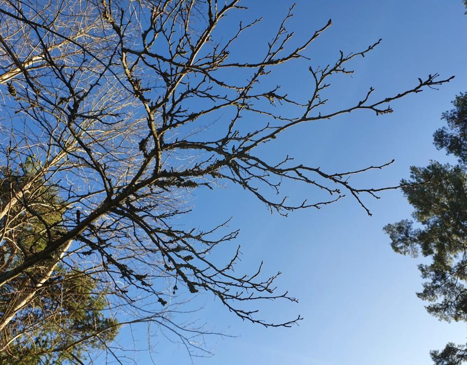 Träd och blå himmel.