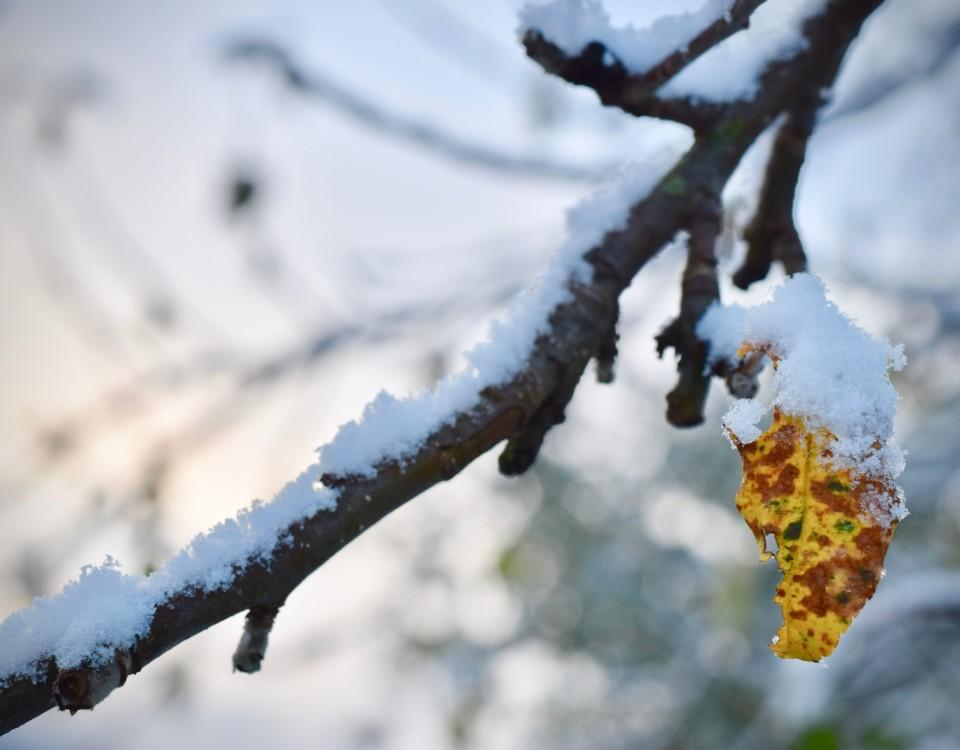 Snötäckt trädgren