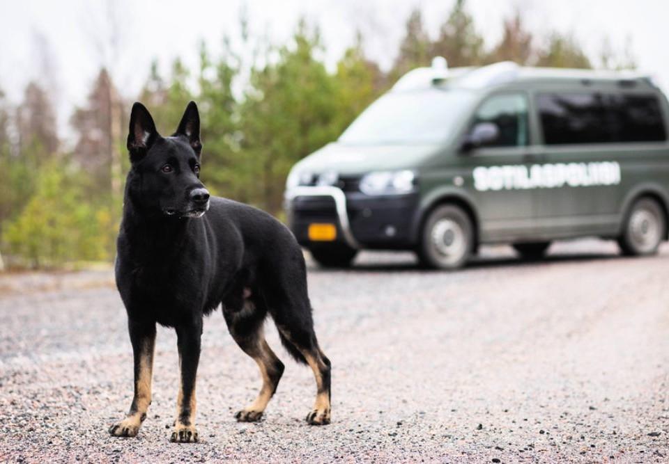 en svart schäferhund