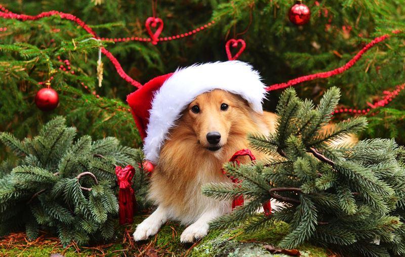 en hund med tomteluva ligger bland grankvistar