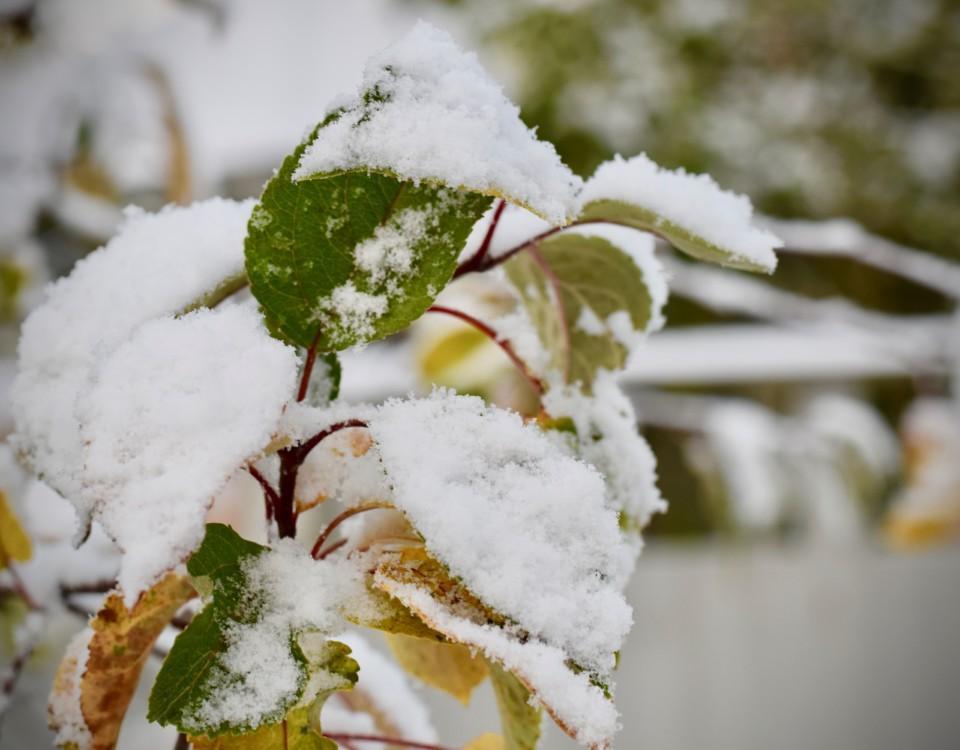 en snötäckt trädgren