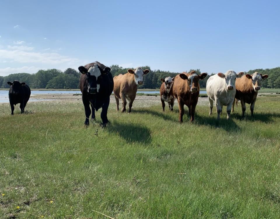 Kor på bete på äng i skärgård