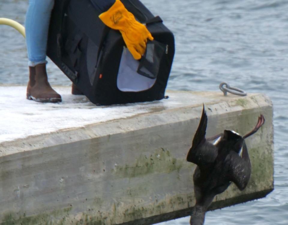 en sjöfågel släpps ut i det fria