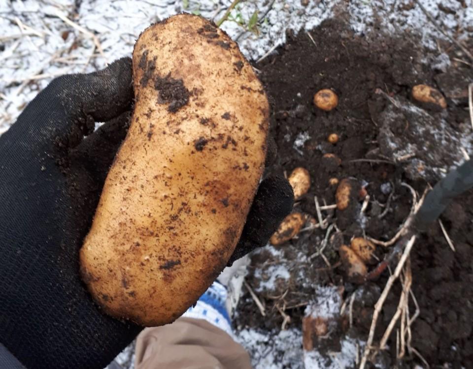En stor potatisknöl i en hand. Tunt snötäcke i bakgrunden.