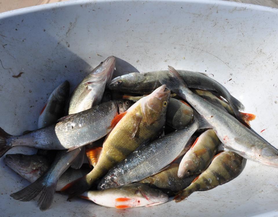 fiskar i ett ämbare
