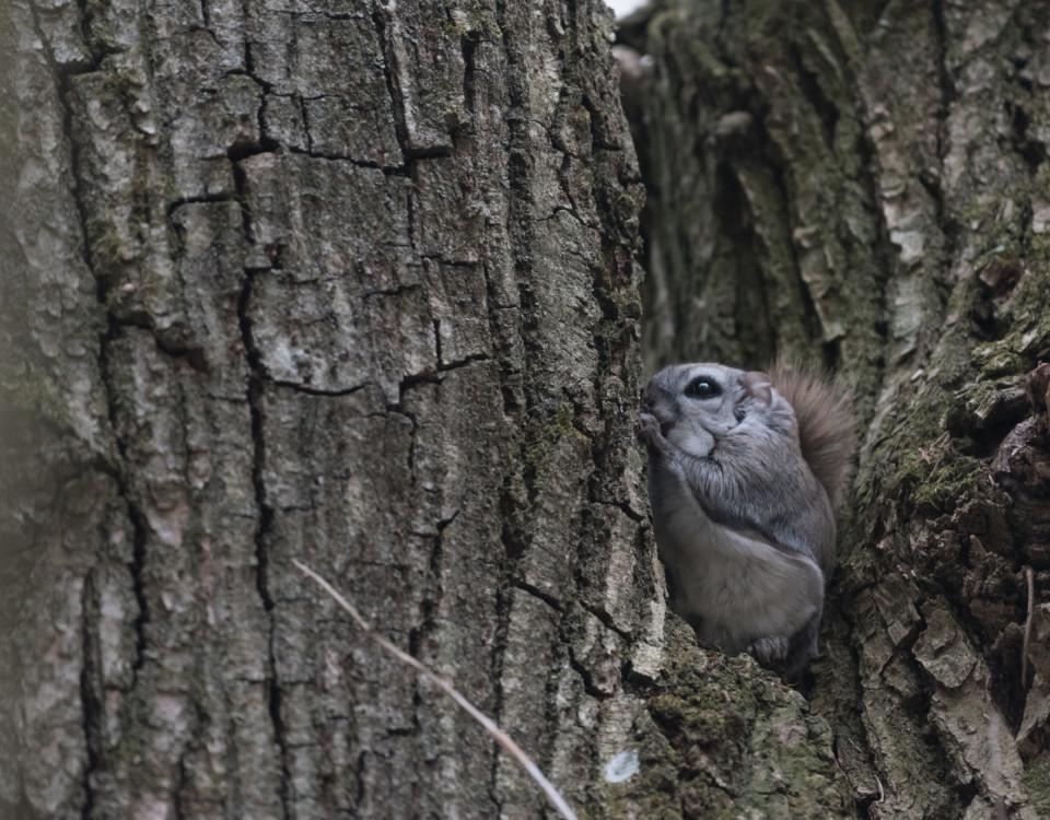 Hopkrupen flygekorre i ett träd
