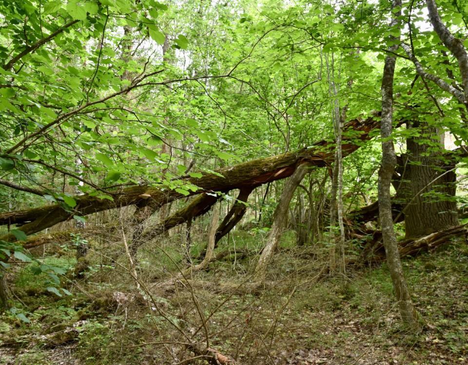 Gröna lövträd i en skog.