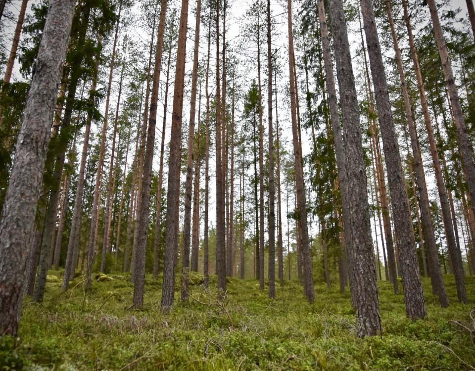 en tallskog fotad nerifrån