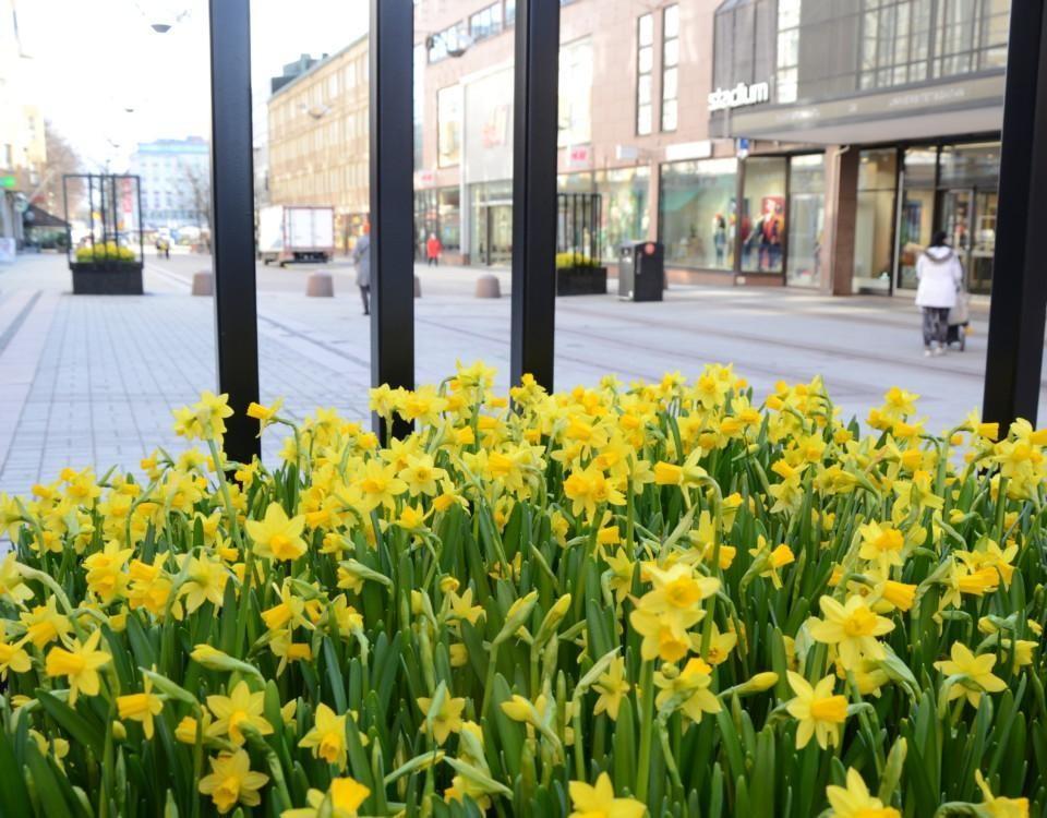 narcisser blommar i lådor på Åbos gågata