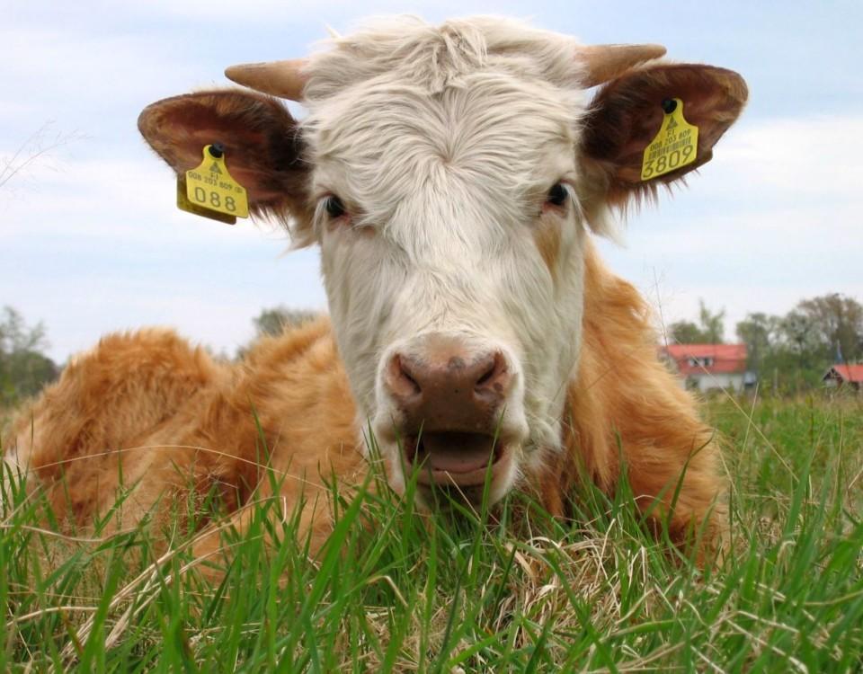 Ko ligger på grönskande äng