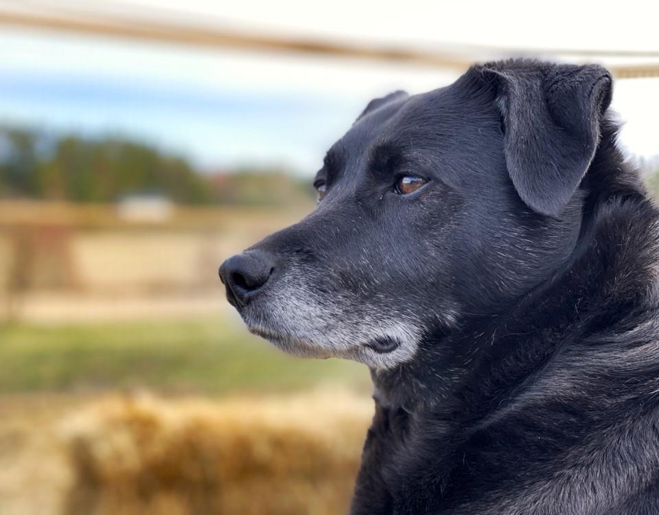 Svart hund, bara huvudet syns