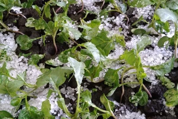 Små plantor och hagel