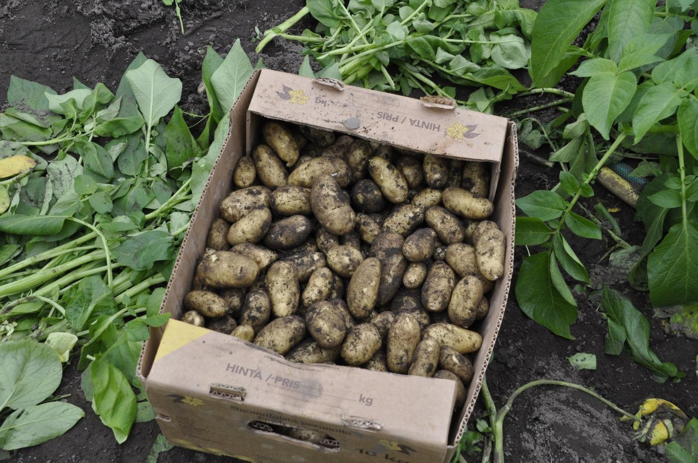 potatis i en låda