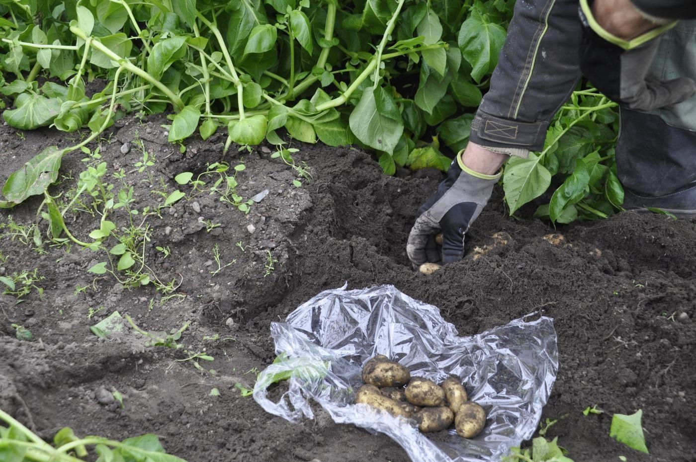 En hand som skördar potatis