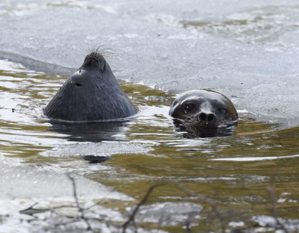Två saimenvikare i en sjö