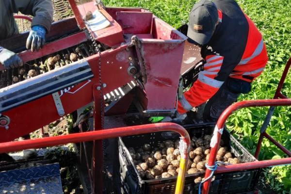 två personer skördar potatis