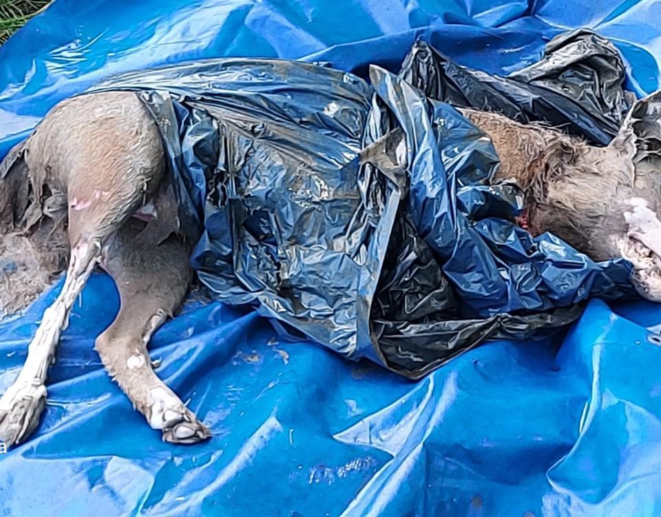 Död varg i plast på marken.